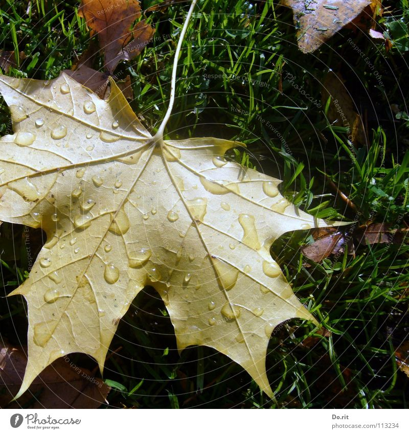 Tears in November Leaf Maple tree Maple leaf Brown Yellow Green Drops of water Rain Cold Goodbye Autumn Autumn leaves Grass Lawn Vessel Shadow Transience Grief