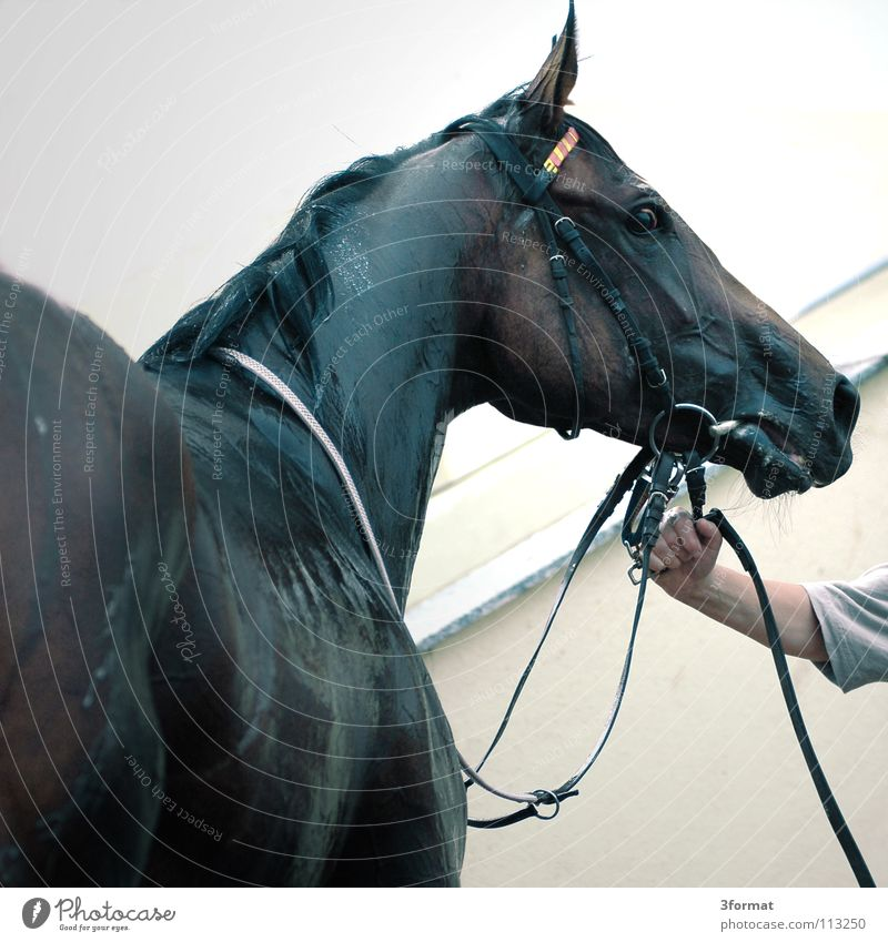 Beautiful Animal Power Arm Wet Speed Success Force Horse To hold on Fatigue Damp Conduct Animalistic Blood Agriculture