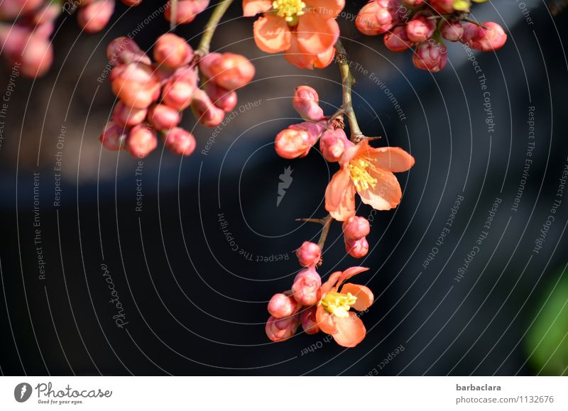 Nature Plant Beautiful Colour Blossom Spring Garden Moody Pink Fresh Power Bushes Esthetic Joie de vivre (Vitality) Blossoming Romance