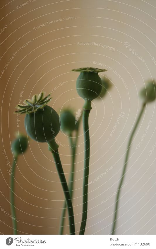 poppy seed poles Plant Green Poppy capsule Corn poppy Faded Seed Multiple Stalk Decoration Colour photo Subdued colour Interior shot Deserted Copy Space top