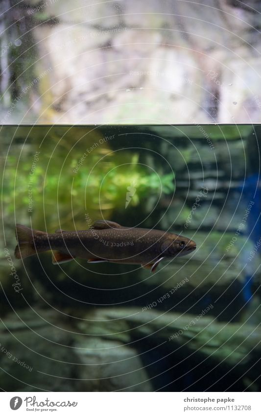 Still fish are wet Environment Nature Water Lake Brook River Animal Wild animal Fish Aquarium Trout 1 Swimming & Bathing Underwater photo Scales Colour photo