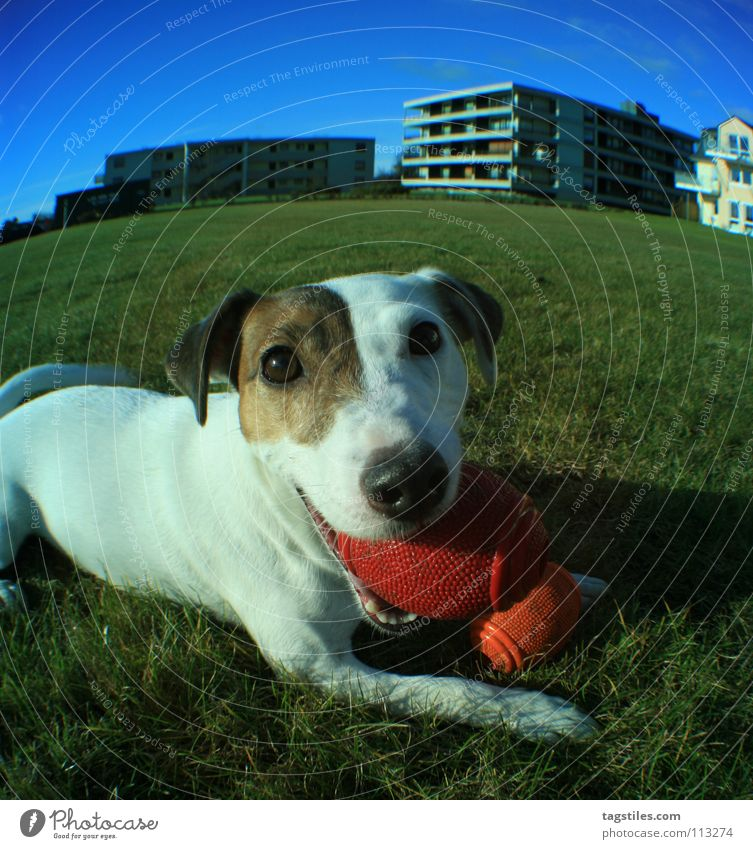 My block Block Dog Russell Terrier White Brown Green Playing Throw Fisheye Flexible Action Mammal Ball sports mine jack Blue daytime walk