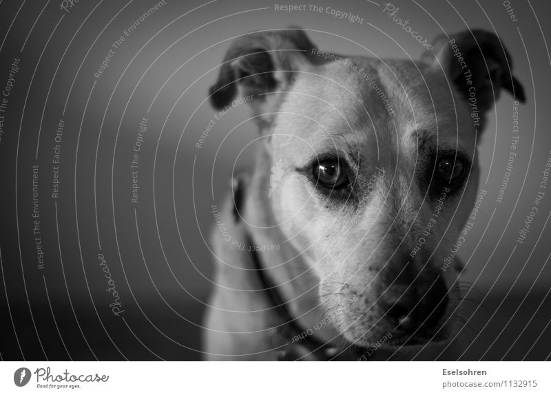 Uncertain Animal Pet Dog Animal face Pelt 1 Observe Looking Cute Watchfulness Calm Humble Timidity Insecure Eyes Snout Black & white photo Interior shot