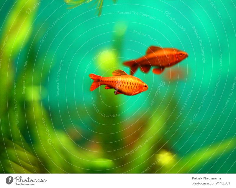 underwater Goldfish Aquarium Water Underwater photo Algae Red Green Blur Animal Living thing Silhouette Plant Force Sated Multicoloured Fish Profile Colour