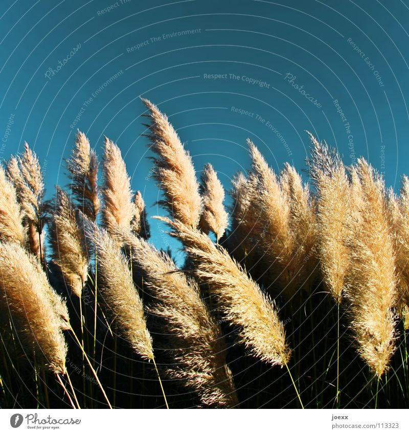 Sweet grass in the wind Pampas grass Easy Ease Rustling Hissing Summer Summery Uruguay Physics Soft Wind Delicate Garden Park Sky Blue breeze breath Titillation