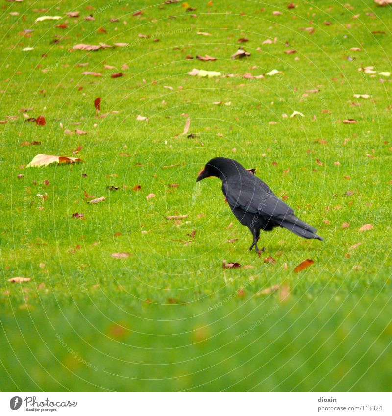 Black Bird Colour photo Exterior shot Copy Space left Copy Space top Copy Space bottom Day Shallow depth of field Animal portrait Looking away Autumn Grass Leaf