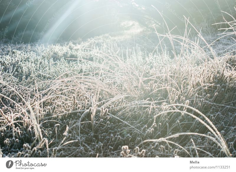 Cold, cold, cold are all my grasses Environment Nature Plant Sun Sunrise Sunset Sunlight Winter Climate Weather Ice Frost Grass Foliage plant Wild plant
