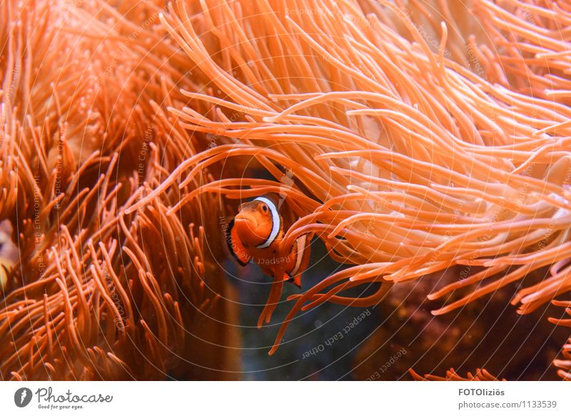 Finding Nemo Animal Water Coral reef Ocean Fish Zoo Aquarium 1 Swimming & Bathing Dive Warmth Orange Pink Red Moody Bravery Safety Protection Watchfulness Fear
