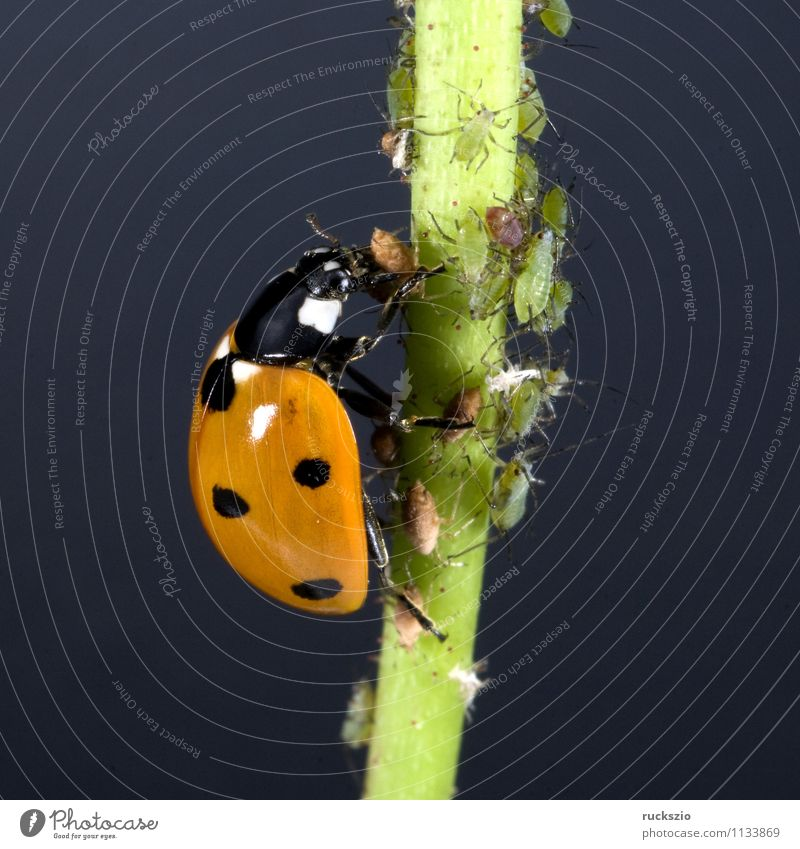 Nature Green Red Animal Black Garden Free Point Insect Still Life To feed Beetle Ladybird Blow Object photography Neutral
