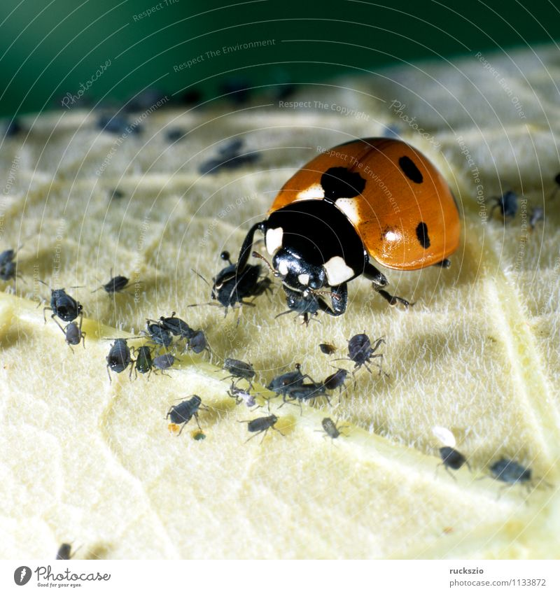 Nature Red Animal Black Garden Point Insect To feed Beetle Ladybird Good luck charm Greenfly Airworthy