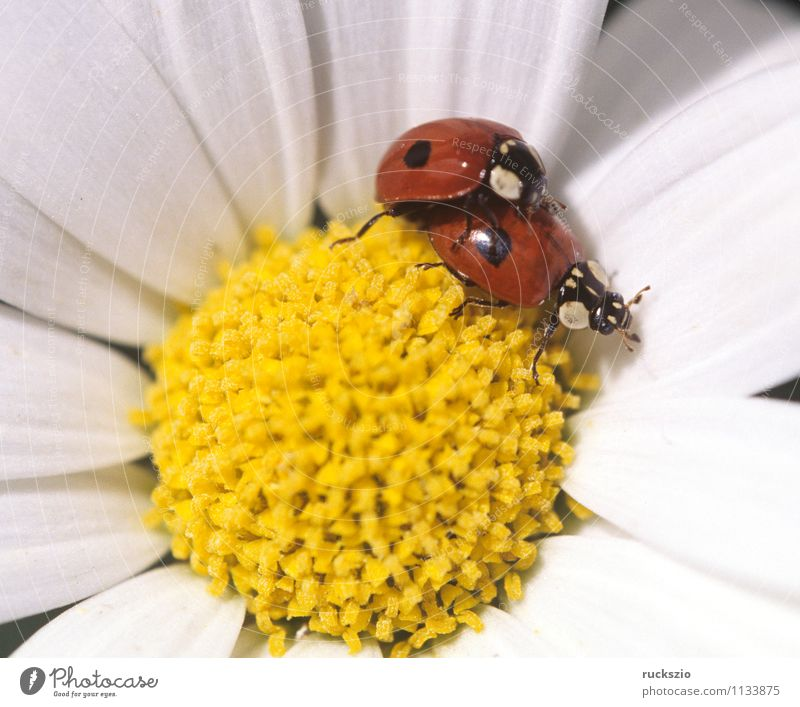 Nature White Red Animal Yellow Meadow Blossom Wild animal Point Insect Beetle Ladybird Propagation Good luck charm Airworthy