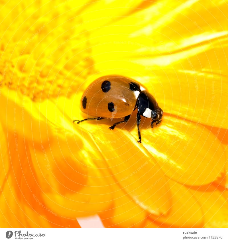 Nature Red Animal Black Yellow Background picture Wild animal Point Insect Still Life To feed Beetle Ladybird Blow Object photography Good luck charm