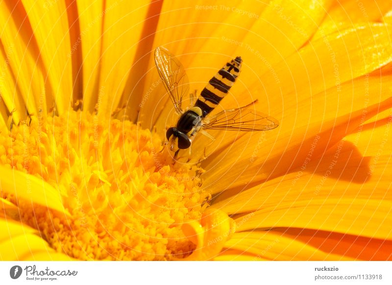 Hoverfly, marigold, calendula, officinalis Nature Animal Flower Blossom Garden Fly To feed Hover fly Scaeva pyrastric Diptera Two-Wing Controller Insect