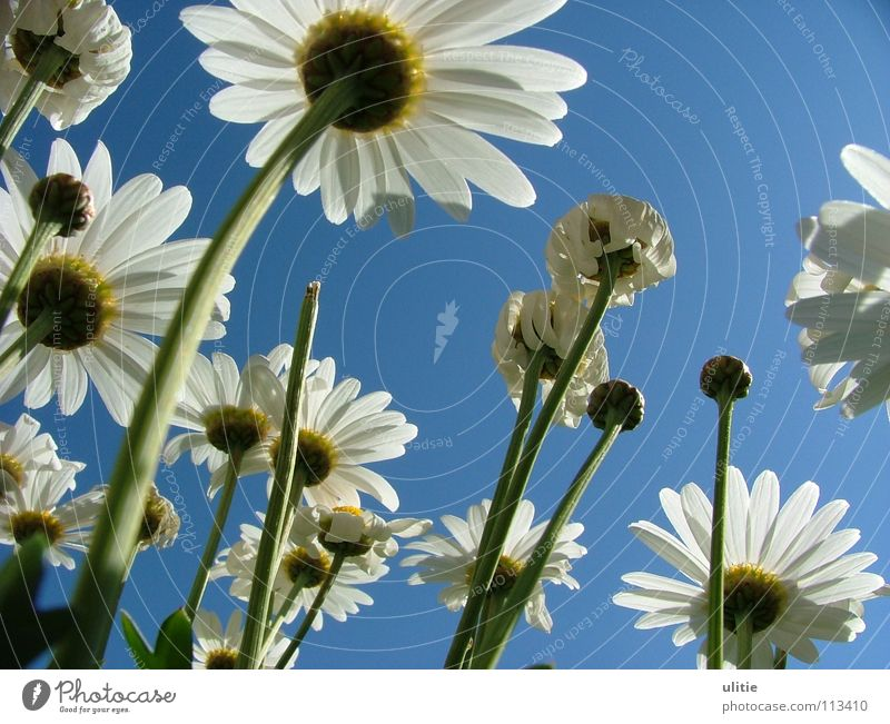 ground perspective Blossom White Blossom leave Meadow Meadow flower Stalk Curved margarites Sky Blue Floor covering Garden Perspective Ground Rose plants Upward