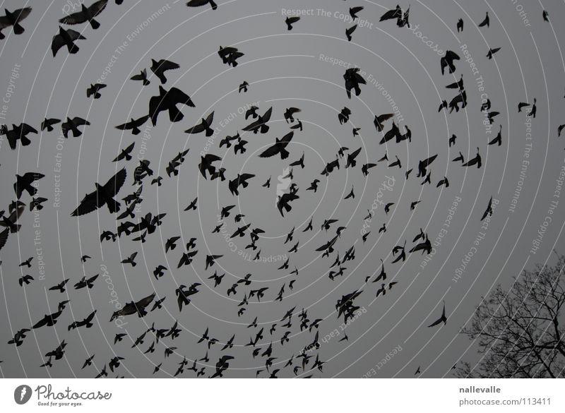 Sky White Tree Winter Black Cold Gray Bird Flying Aviation Multiple Pigeon November Flock Crow