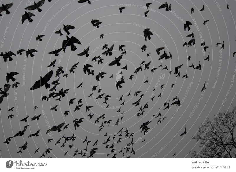 The birds November Winter Cold Gray Black White Bird Pigeon Crow Tree Flock raven Sky Aviation Flying Multiple Shadow silhouetted