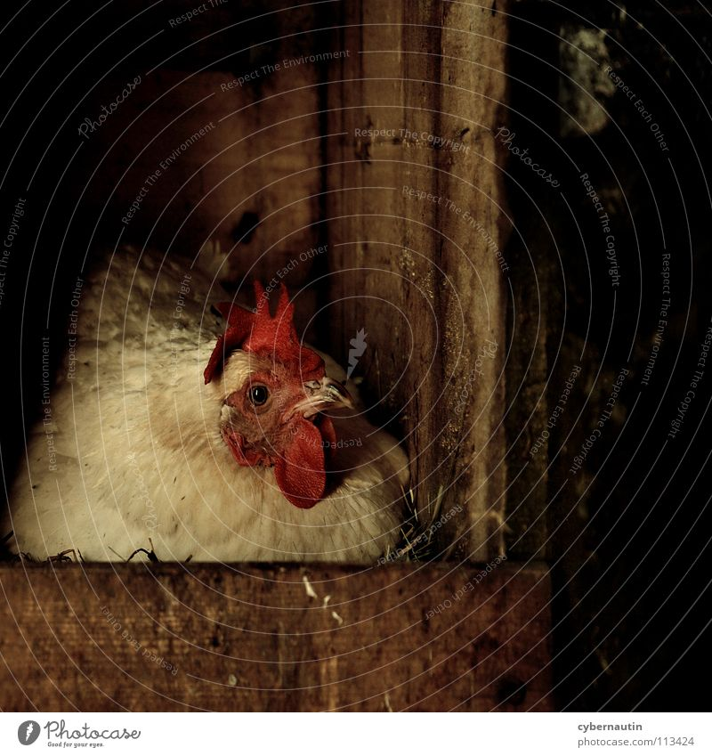 hen Barn fowl Parental care Lie Nest Straw Chicken coop Farm Animal protection Adequate Egg wooden crate Organic produce Species-appropriate