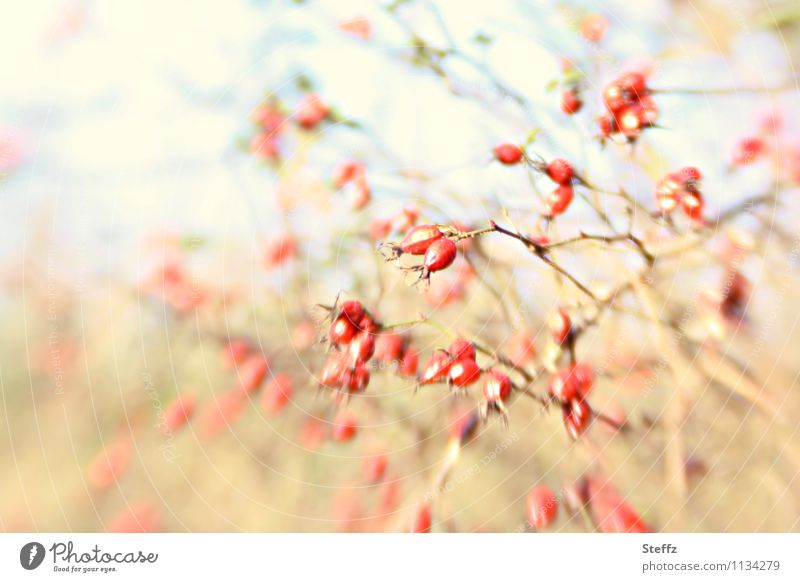 Nature Plant Red Yellow Autumn Bushes Rose Twig Berries Autumnal Autumnal colours Reaction Wild plant Twigs and branches Agitated Rose hip