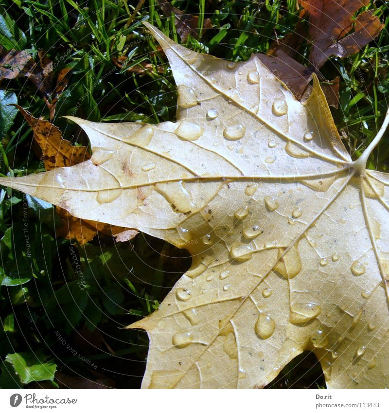 Green Leaf Yellow Cold Autumn Grass Rain Brown Drops of water Lawn Transience Goodbye Vessel November Autumn leaves Maple tree