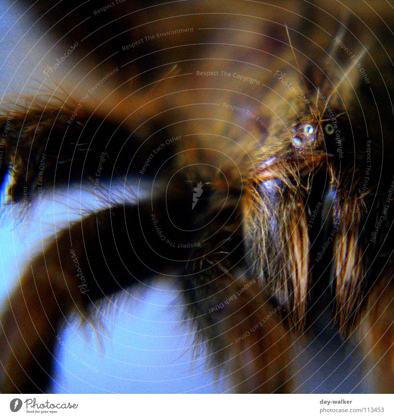 arachnophobia Spider Bird-eating spider Animal Pair of pliers Dangerous Near Close-up Poison Legs Threat Hair and hairstyles Eyes Blue