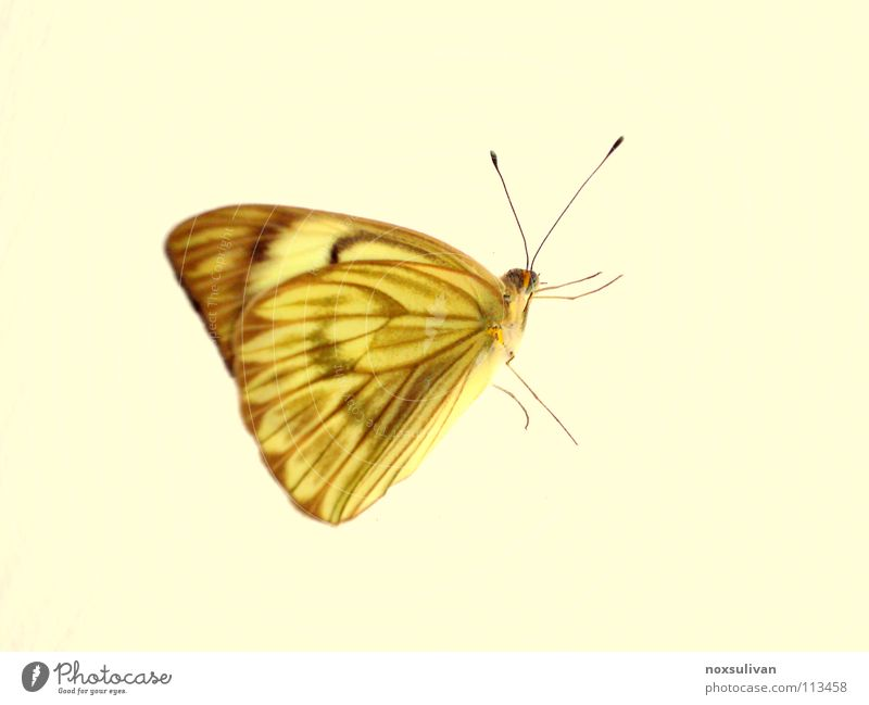 butterfly Yellow Insect Animal Macro (Extreme close-up) Butterfly Isolated Image Bright background Feeler