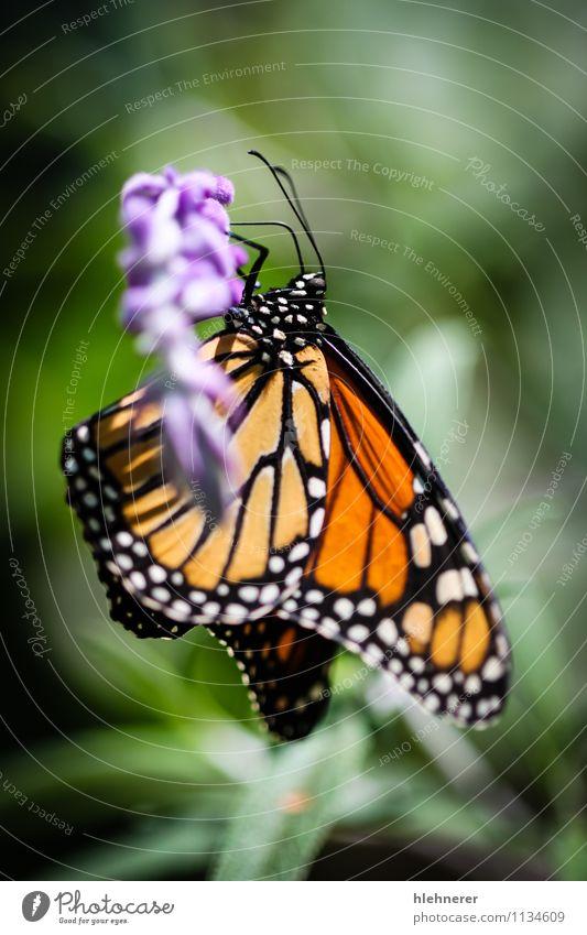 Monarch Danaus Plexippus Beautiful Calm Garden Nature Plant Animal Flower Antenna Butterfly Wing Natural Green Black White Serene Colour Monarch butterfly