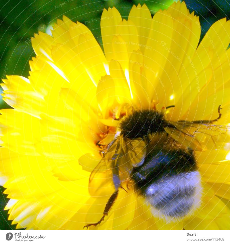 Green Summer Flower Yellow Legs Bright Lighting Nutrition Soft Insect Bee Stick Bumble bee Marigold Fertilization Greeny-yellow