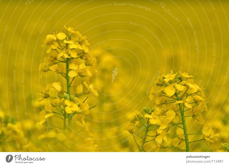 yellow dream Yellow Canola Plant Summer Field fauns Oil
