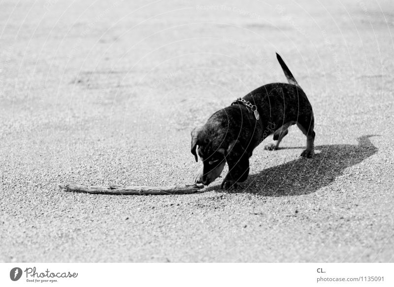 throwing material Leisure and hobbies Playing Beautiful weather Animal Pet Dog Dachshund 1 Ground Branch Cute Love of animals Black & white photo Exterior shot