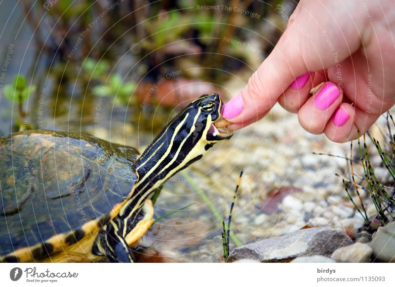 tame Elegant Style Nail polish Young woman Youth (Young adults) Hand 1 Human being Pet Turtle Turles Animal To feed Feeding Esthetic Exceptional Exotic