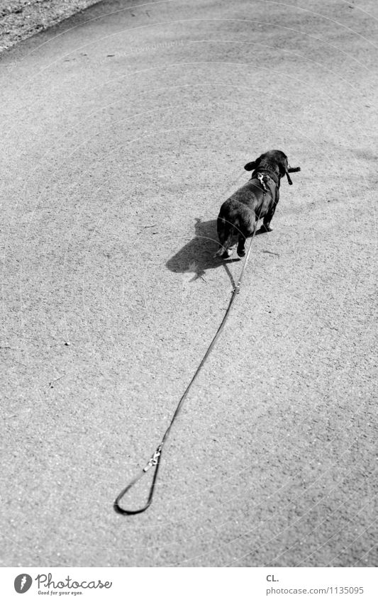 escape attempt Beautiful weather Lanes & trails Animal Pet Dog Dachshund 1 Dog lead Walking Cute Love of animals Loyalty Target Flee Danger of escaping