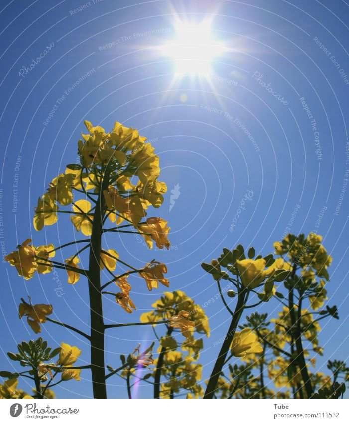 Nature Sky Sun Plant Summer Yellow Spring Air Environment Agriculture Blue sky Canola March Agricultural crop