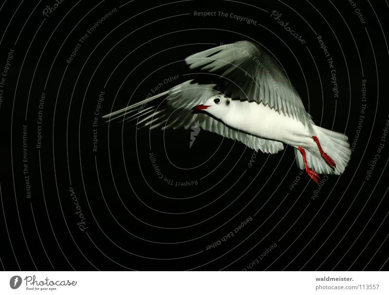 Sky Ocean Beach Dark Bird Flying Aviation Seagull Animal Night shot Black-headed gull