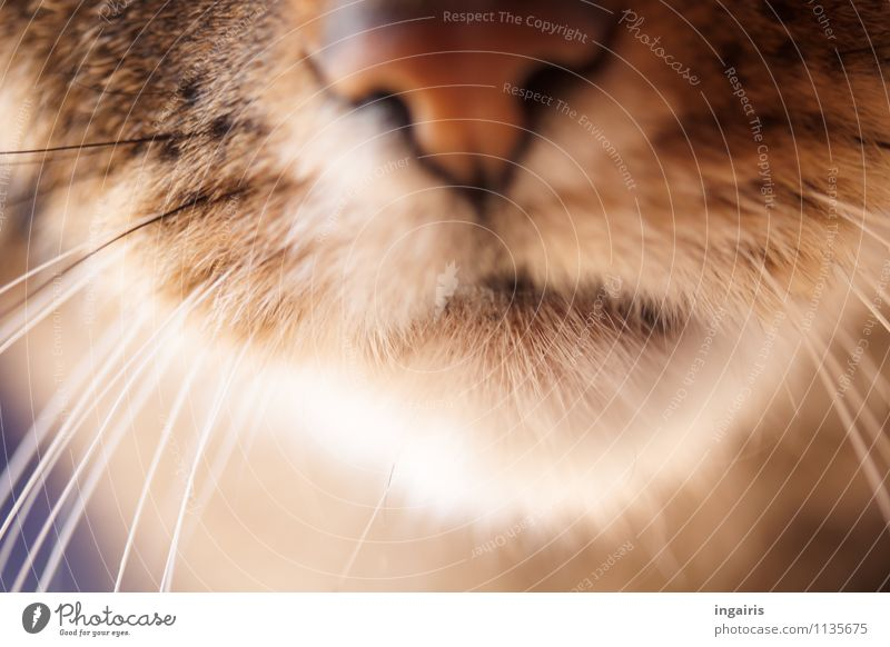 In the sixteenth year. Animal Pet Cat Animal face Parts of body Nose Muzzle Feeler Whisker 1 Observe Friendliness Natural Curiosity Warmth Soft Brown White