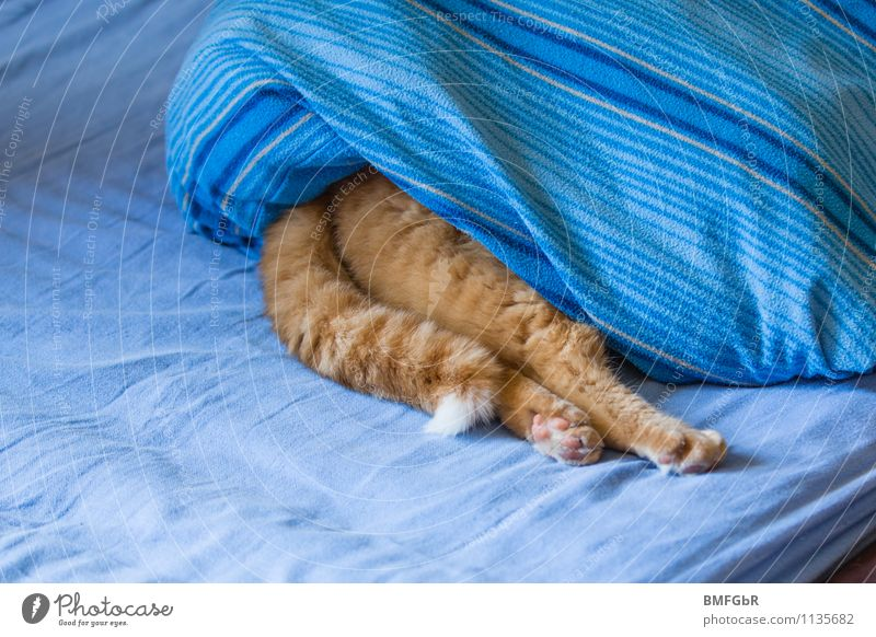 Cat Blue Relaxation Calm Joy Animal Funny Lie Happiness Crazy Warm-heartedness Sleep Break Protection Safety Pet