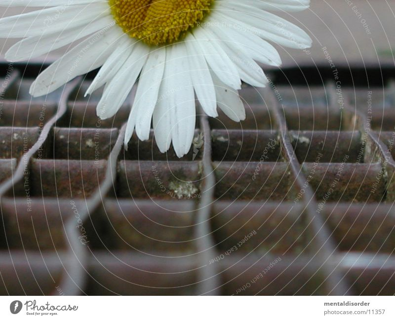 flowerpower Flower Grating Iron Power White Steel Rectangle Square Plant Dust Nature Lie To fall To plunge Pollen Rust