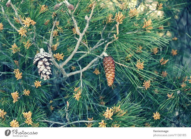 tenons Environment Nature Plant Cold Thorny Coniferous trees Cone allauch Southern France Mediterranean Mediterranean sea Marseille Provence Stone pine Seed