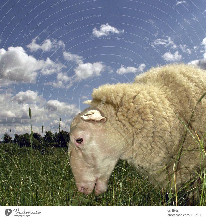 Beautiful Joy Calm Cute Pelt Individual Animal face Pasture Sheep To enjoy Blade of grass To feed Harmonious Wool Cattle breeding Animal