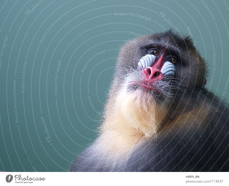 Old Red Joy Eyes Sadness Multiple Nose Corner Grief Pelt Africa Zoo Facial hair Stomach Mammal Monkeys