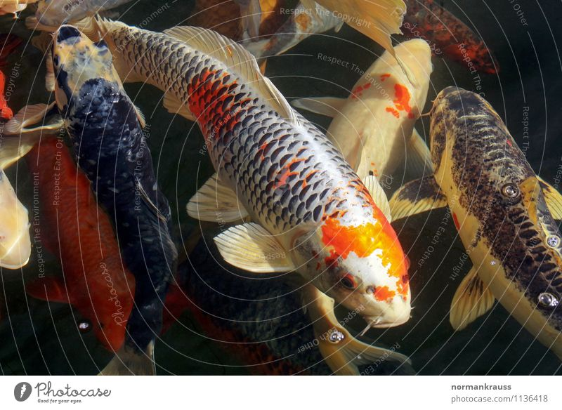 Koi Animal Pet Fish Scales Group of animals Flock Water Swimming & Bathing Eroticism Wet Exotic Colour Multicoloured Garden pond Ornamental fish