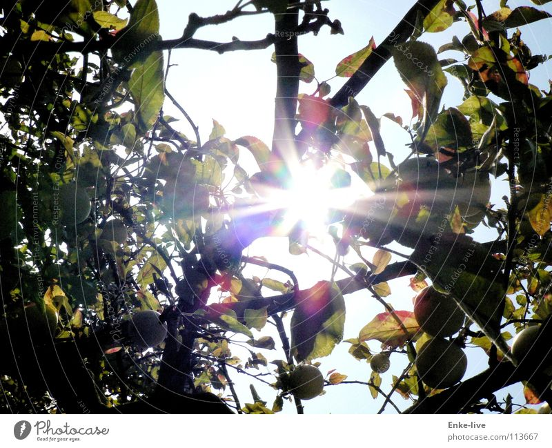 Nature Beautiful Sky Tree Sun Leaf Autumn Lighting Fruit Branch Apple Apple tree