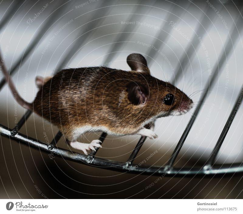 Run, sweetheart! Pet Mouse Pelt Paw 1 Animal Walking Running Small Cute Brown Button eyes Rodent Diminutive Mammal dwarf mouse peck mouse African dwarf mouse