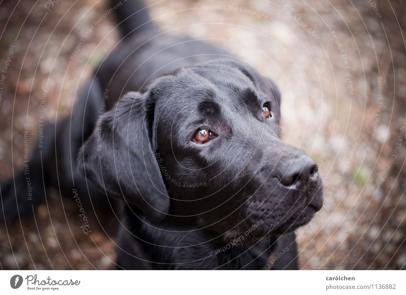 all you need Animal Pet Dog Animal face 1 Sit Dream Brown Black Obedient Watchfulness Lovely Looking Labrador Colour photo Close-up Copy Space right