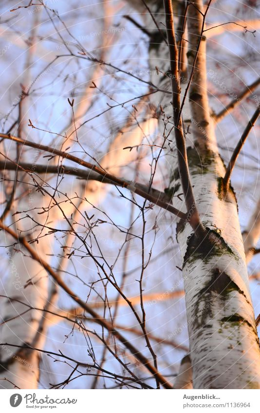 the first warmth of spring... Cloudless sky Sunrise Sunset Sunlight Spring Tree Birch tree Freedom Nature Calm Vacation & Travel Exterior shot Twilight