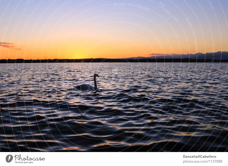 The early swan appears in the picture Nature Water Cloudless sky Sunrise Sunset Spring Summer Beautiful weather Lakeside Lake Garda Animal Bird Swan Swan Lake 1