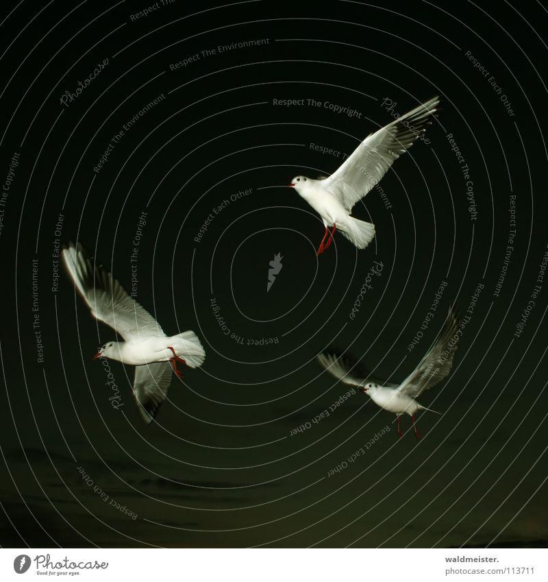 Sky Ocean Beach Dark Bird Flying Aviation Wing Seagull Night shot Black-headed gull