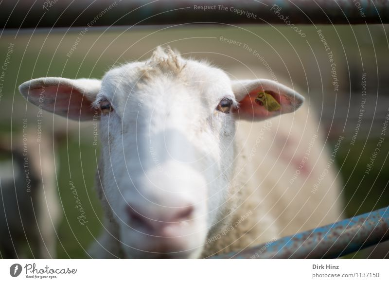 Allow me. Luise. Animal Pelt 1 Green Pink White Environment Environmental protection Nature Landscape Meadow North Sea Farm animal Animal face Observe Looking