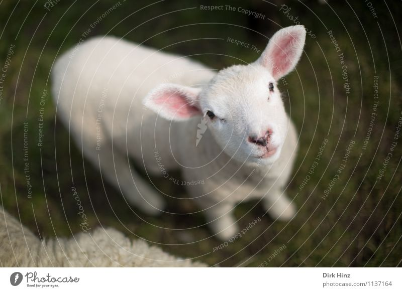 North Sea Lamb Animal Meadow Farm animal Animal face Pelt Petting zoo 1 Baby animal Cuddly Small Soft Green Pink White Sheep Agriculture Cattle breeding