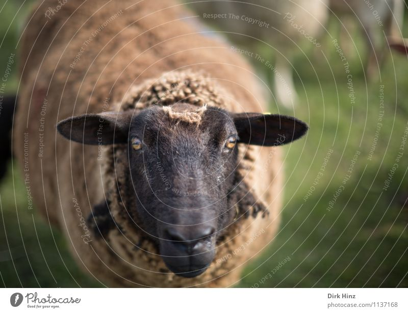 Moin moin! Environment Nature Animal Meadow North Sea Farm animal Pelt 1 Stand Wait Brown Green Black Tradition Environmental protection Sheep Lamb's wool Wool