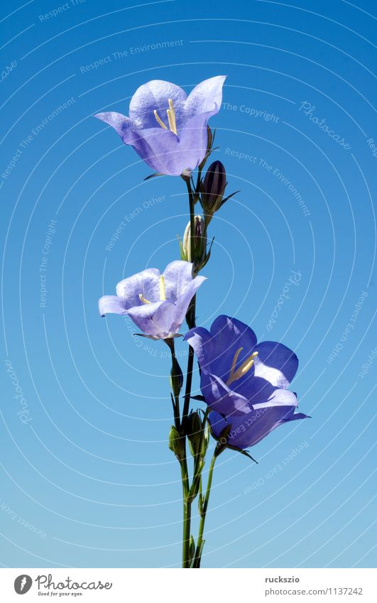 Peach-leaved; bellflower; Campanula persicifolia; Nature Plant Flower Blossom Wild plant Meadow Blossoming Free Blue peach leaf tripe Bluebell